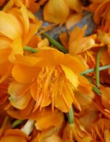 金莲花 3图片
