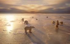 阳光下冰面上的北极熊