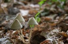 白色蘑菇图片