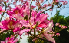 紫荆花图片