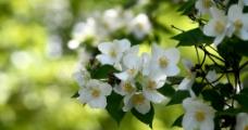 盛开的茉莉花
