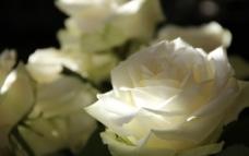 白玫瑰 盛开图片