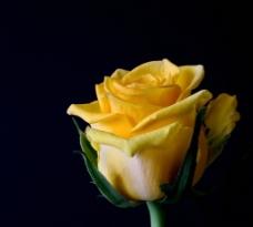 黄玫瑰 盛开图片