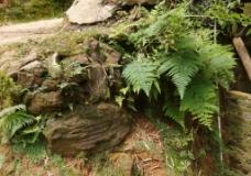 植物  蕨类 绿色植物图片