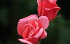 粉玫瑰 盛开图片