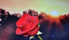 红玫瑰 夕阳图片