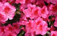 盛开的花 粉色图片