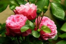 三朵粉红玫瑰 绿叶 争妍图片