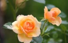 黄玫瑰 盛开 绿叶图片