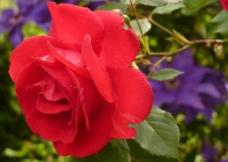 红玫瑰  盛开图片