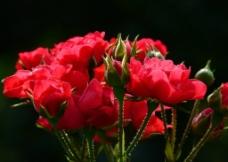盛放中的红玫瑰图片