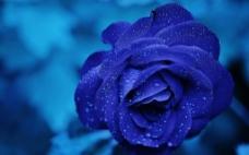 蓝玫瑰 盛开图片