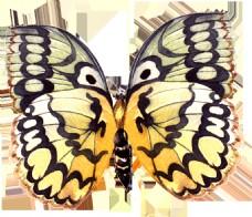 手绘一只蝴蝶标本png透明素材