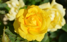 黄玫瑰图片