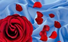 丝绸玫瑰背景墙 壁纸图片