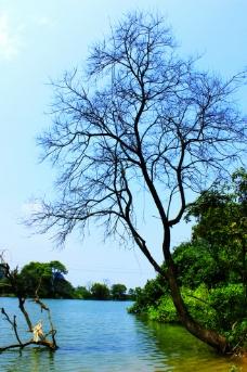 江边枯树图片