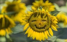 开心的向日葵图片