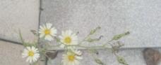 石阶下的小黄花图片