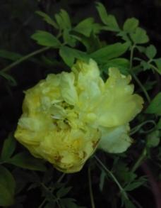 牡丹花姚黄图片