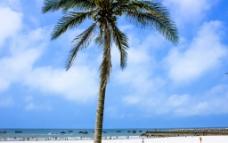 北海银滩椰子树图片