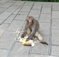 吃东西的猴子图片
