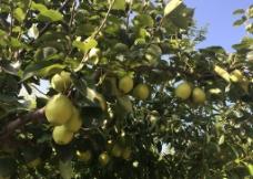 树木的果实图片