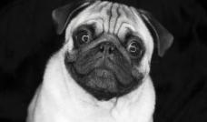 哈巴犬图片