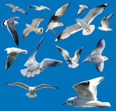 海鸥 飞鸟图片