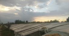 夕阳下的大棚菜地图片