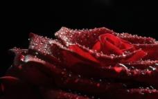 玫瑰花 玫瑰花近照 玫瑰花瓣图片