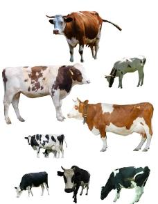 奶牛PS分层图片