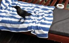 黑色的鸟 条纹浴巾图片