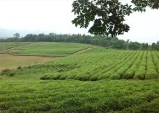 茶叶示范园图片