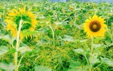 葵花朵朵向阳开图片