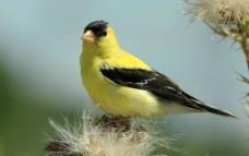 黄鹂鸟图片
