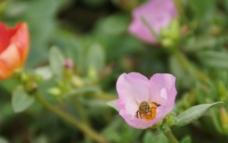 采花粉的小蜜蜂图片