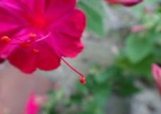 紫茉莉 地雷花图片