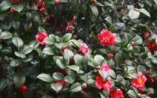红色山茶花图片