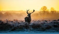 朝阳下的麋鹿图片