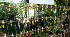 金蛹蝴蝶图片