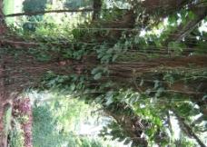 热带雨林大树图片