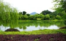 琴潭杨柳绿化带图片