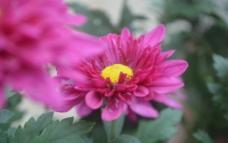 侧面菊花图片