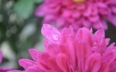 露水菊花花瓣图片