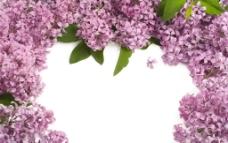 紫丁香背景图图片