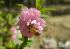 蜜蜂  花  采蜜图片