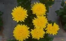 六朵金花图片