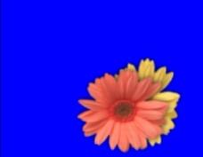 花朵动态视频