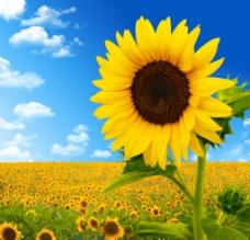 阳光下的向日葵图片