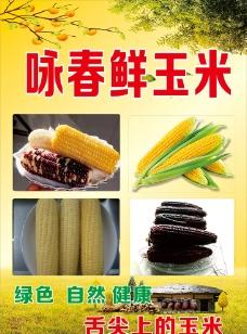 永春玉米  鲜玉米 煮玉米图片